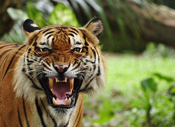 बाघको आक्रमणमा २ युवक घाइते, प्रतिकारमा बाघ मारियो